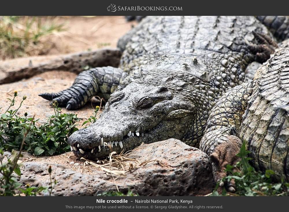 Nile crocodile in Nairobi National Park, Kenya