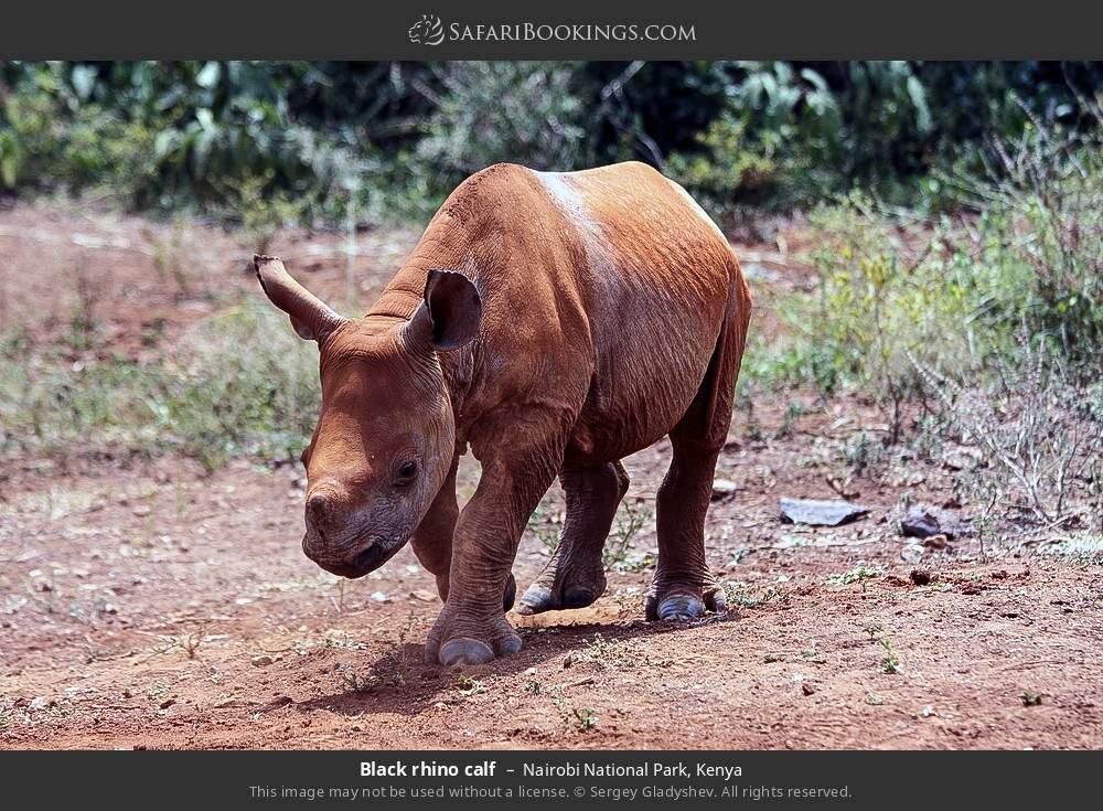 Black rhino calf in Nairobi National Park, Kenya