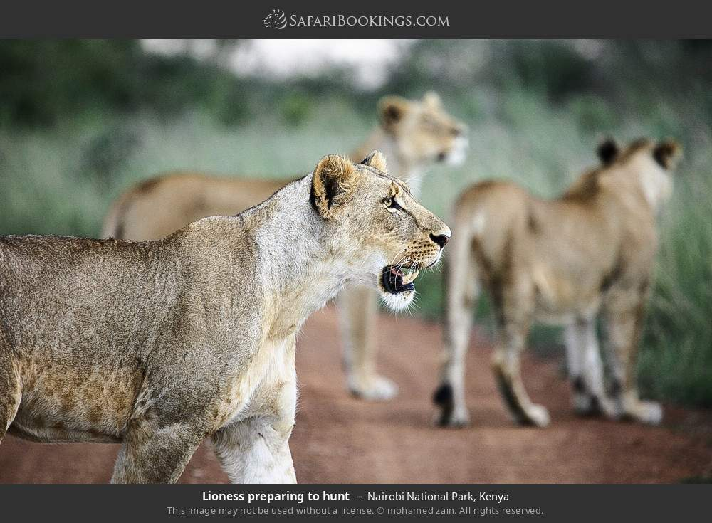 Lioness preparing to hunt in Nairobi National Park, Kenya