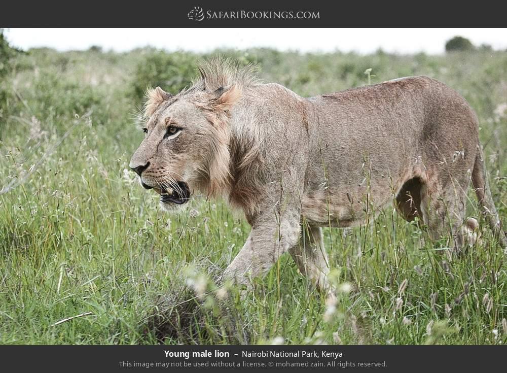 Young male lion in Nairobi National Park, Kenya
