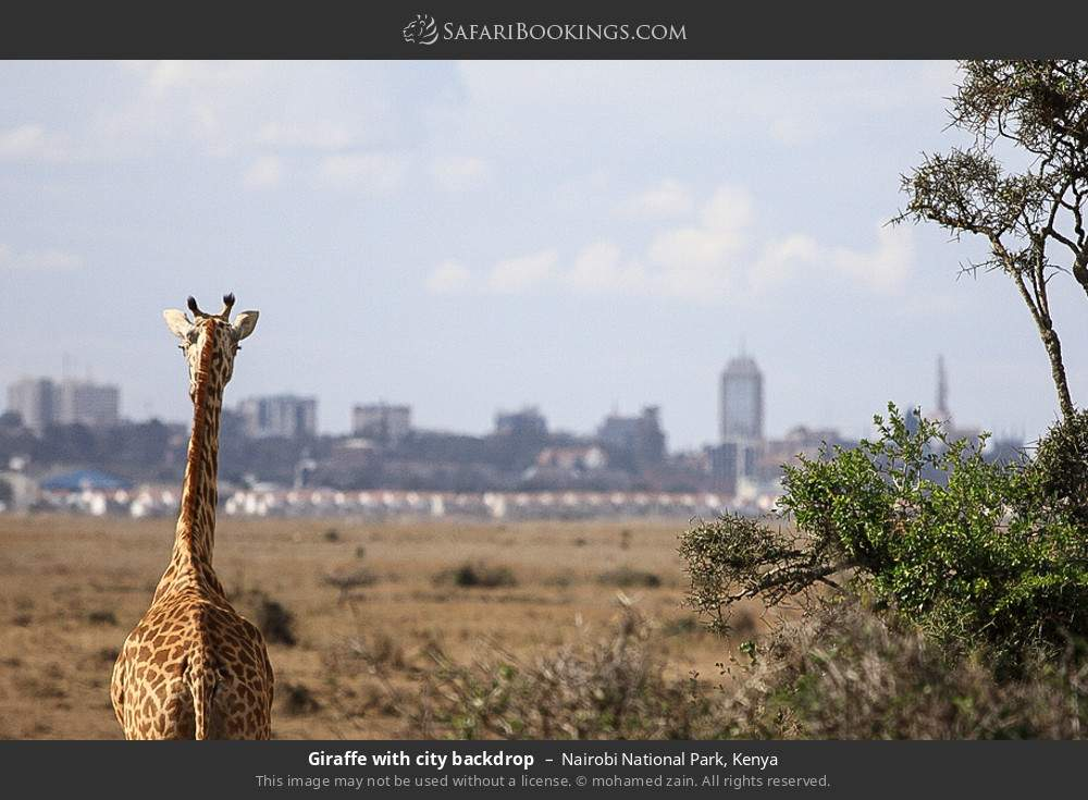 Giraffe with the city backdrop in Nairobi National Park, Kenya