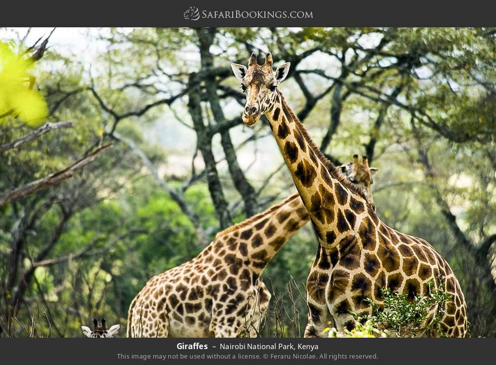 Giraffes in Nairobi National Park, Kenya