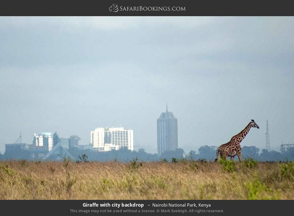 Giraffe with city backdrop  in Nairobi National Park, Kenya