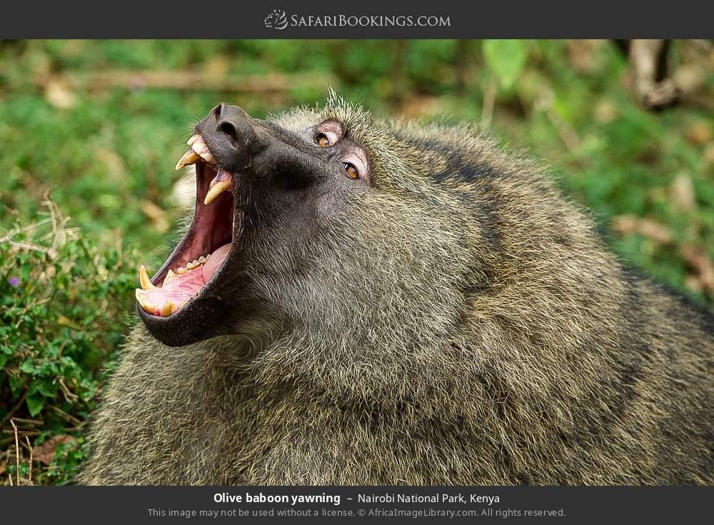 Olive baboon yawning in Nairobi National Park, Kenya