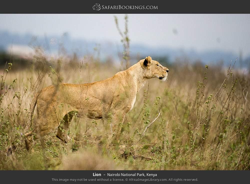Lion in Nairobi National Park, Kenya