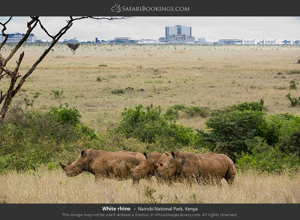 White rhino in Nairobi National Park, Kenya