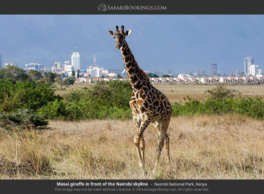 Maasai giraffe in front of the Nairobi skyline in Nairobi National Park, Kenya