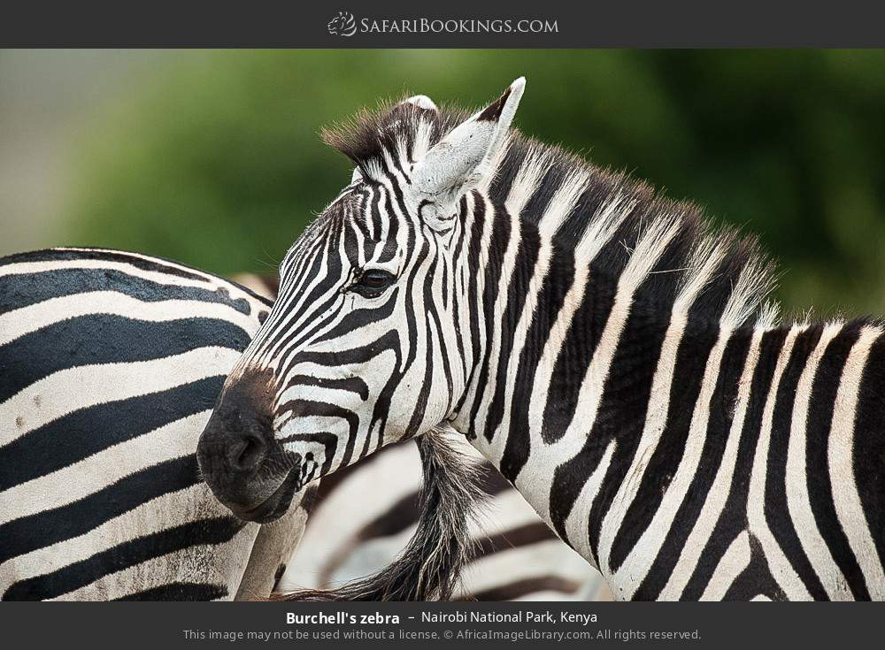 Burchell's zebra in Nairobi National Park, Kenya