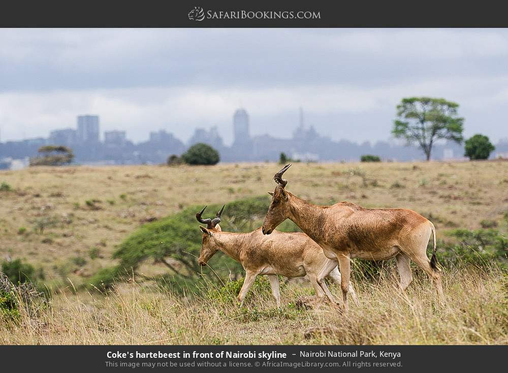 Coke's hartebeest in front of Nairobi skyline in Nairobi National Park, Kenya