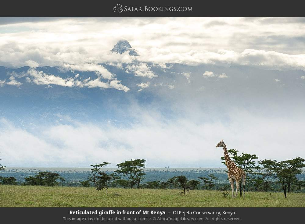 Reticulated giraffe in front of Mount Kenya in Ol Pejeta Conservancy, Kenya