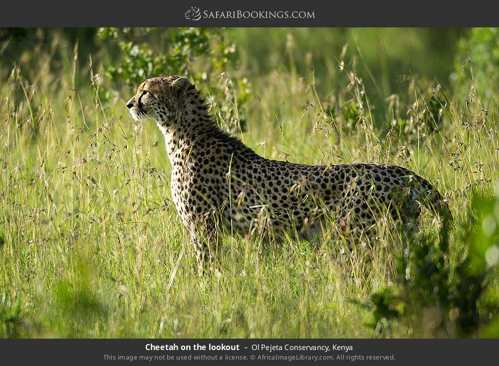 Cheetah on the lookout in Ol Pejeta Conservancy, Kenya