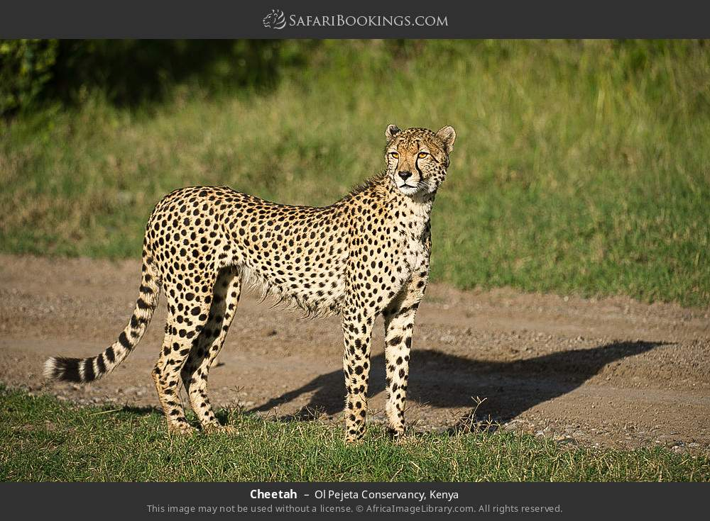 Cheetah in Ol Pejeta Conservancy, Kenya
