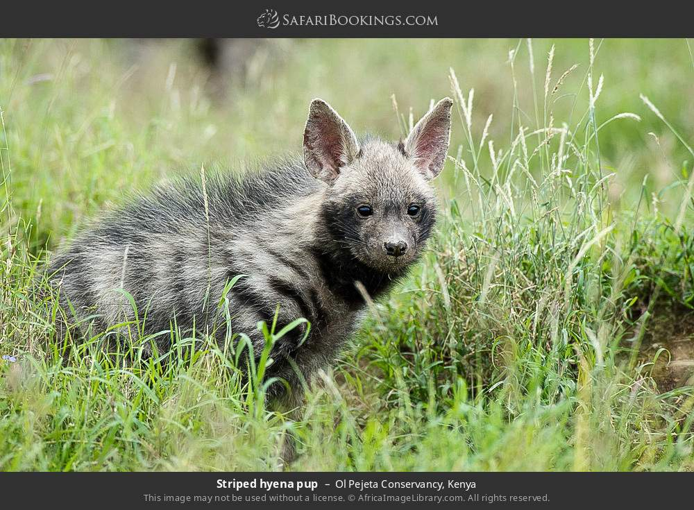 Striped hyena pup in Ol Pejeta Conservancy, Kenya