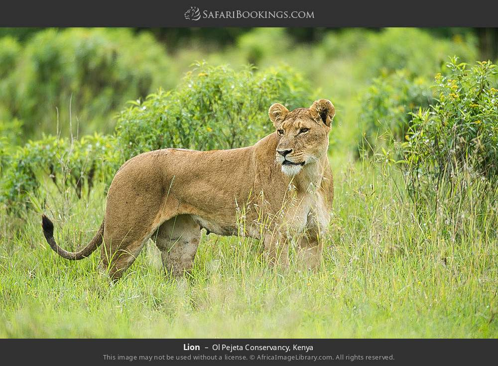 Lion in Ol Pejeta Conservancy, Kenya