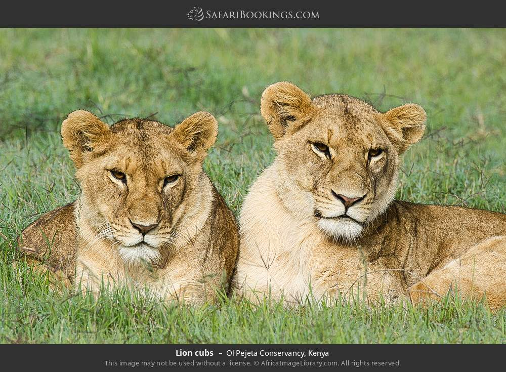 Lion cubs in Ol Pejeta Conservancy, Kenya