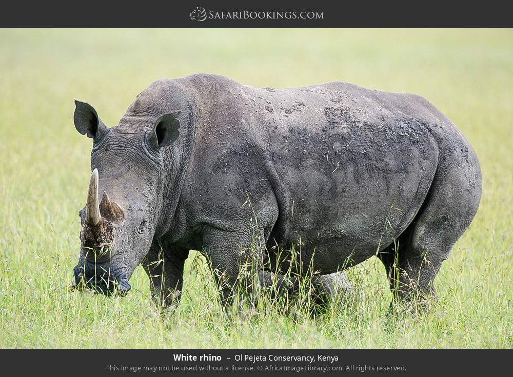 White rhino in Ol Pejeta Conservancy, Kenya