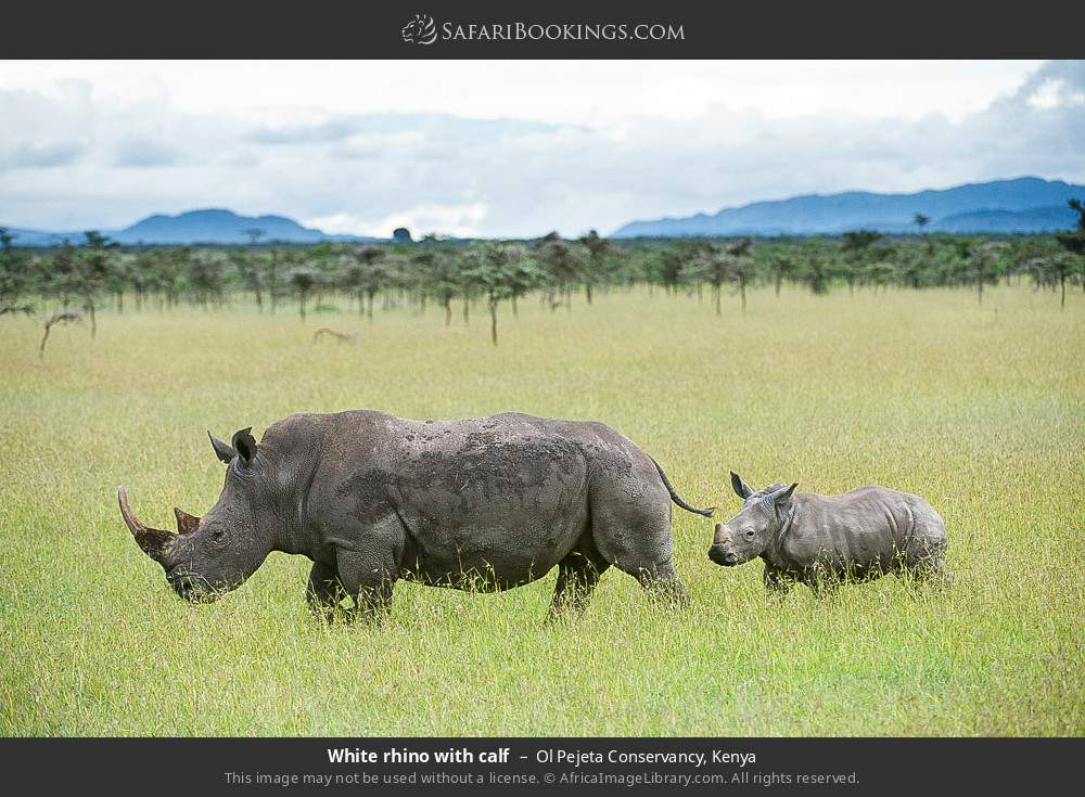 White rhino with calf in Ol Pejeta Conservancy, Kenya