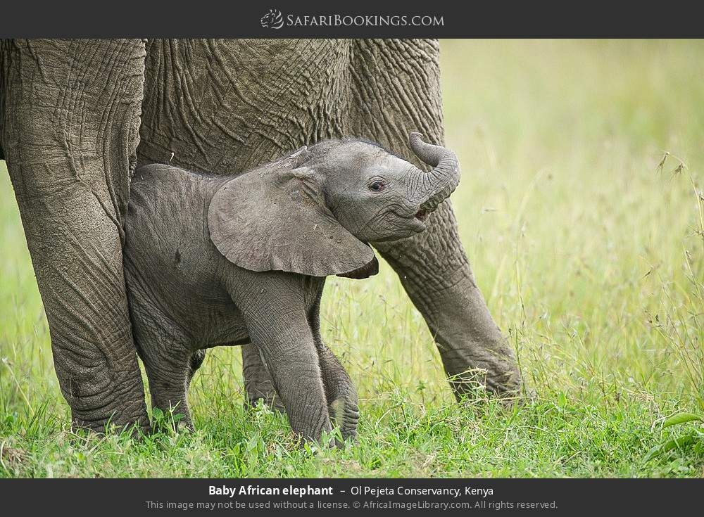 Baby African elephant in Ol Pejeta Conservancy, Kenya