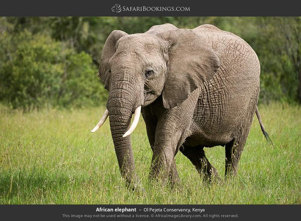 African elephant in Ol Pejeta Conservancy, Kenya