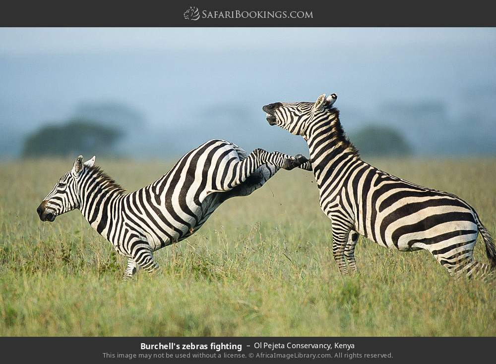 Burchell's zebras fighting in Ol Pejeta Conservancy, Kenya