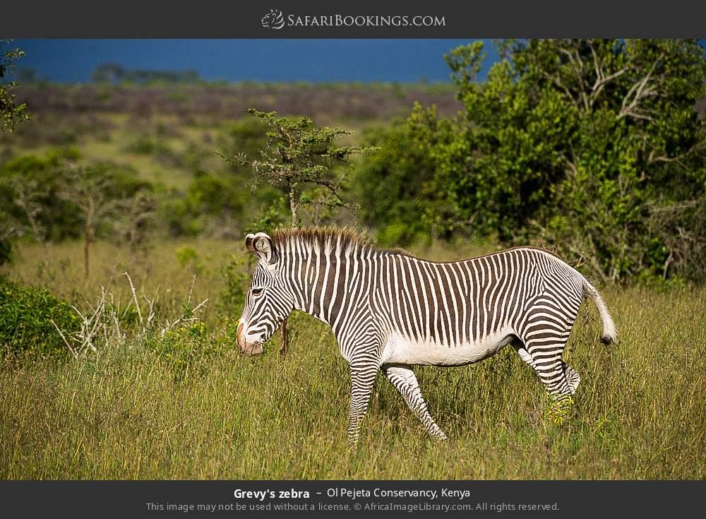 Grevy's zebra in Ol Pejeta Conservancy, Kenya