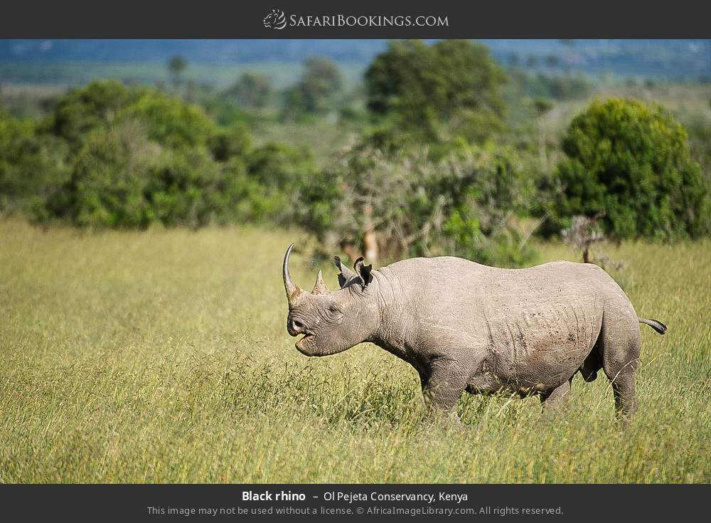 Black rhino in Ol Pejeta Conservancy, Kenya