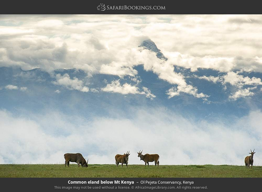 Common eland below Mount Kenya in Ol Pejeta Conservancy, Kenya