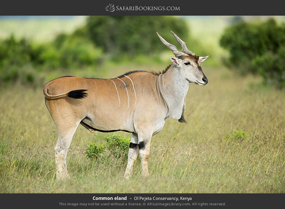 Common eland in Ol Pejeta Conservancy, Kenya