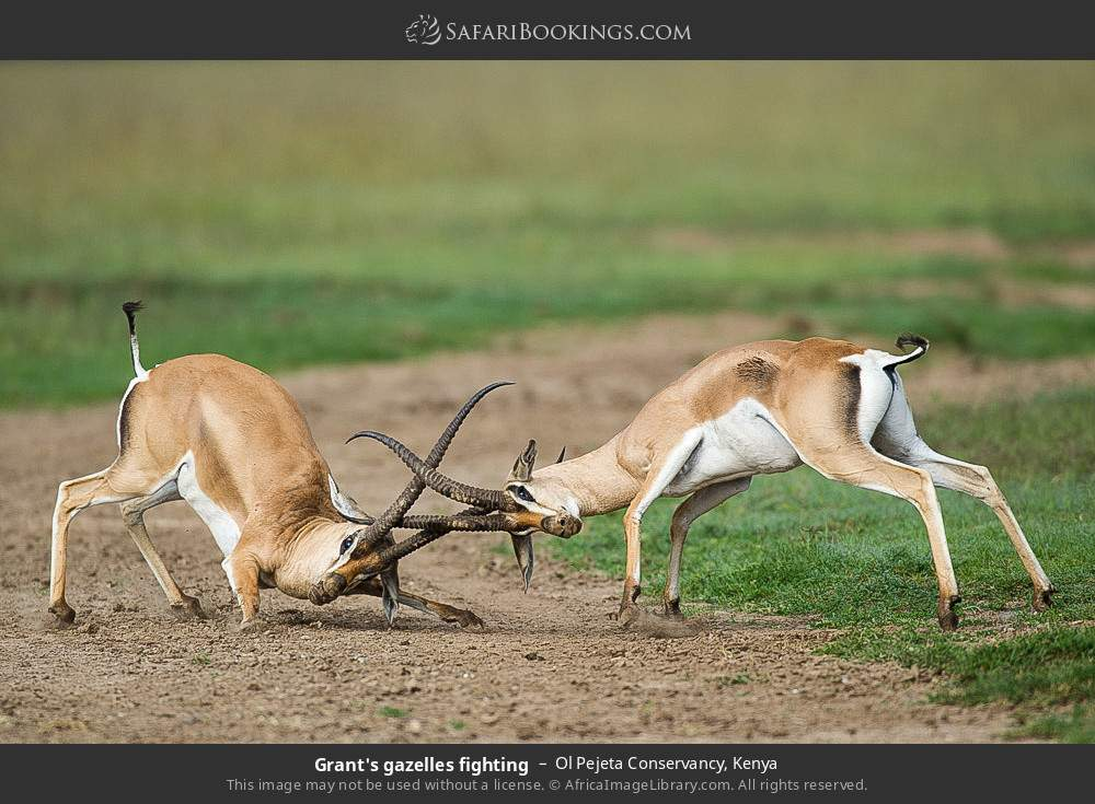 Grant's gazelles fighting in Ol Pejeta Conservancy, Kenya