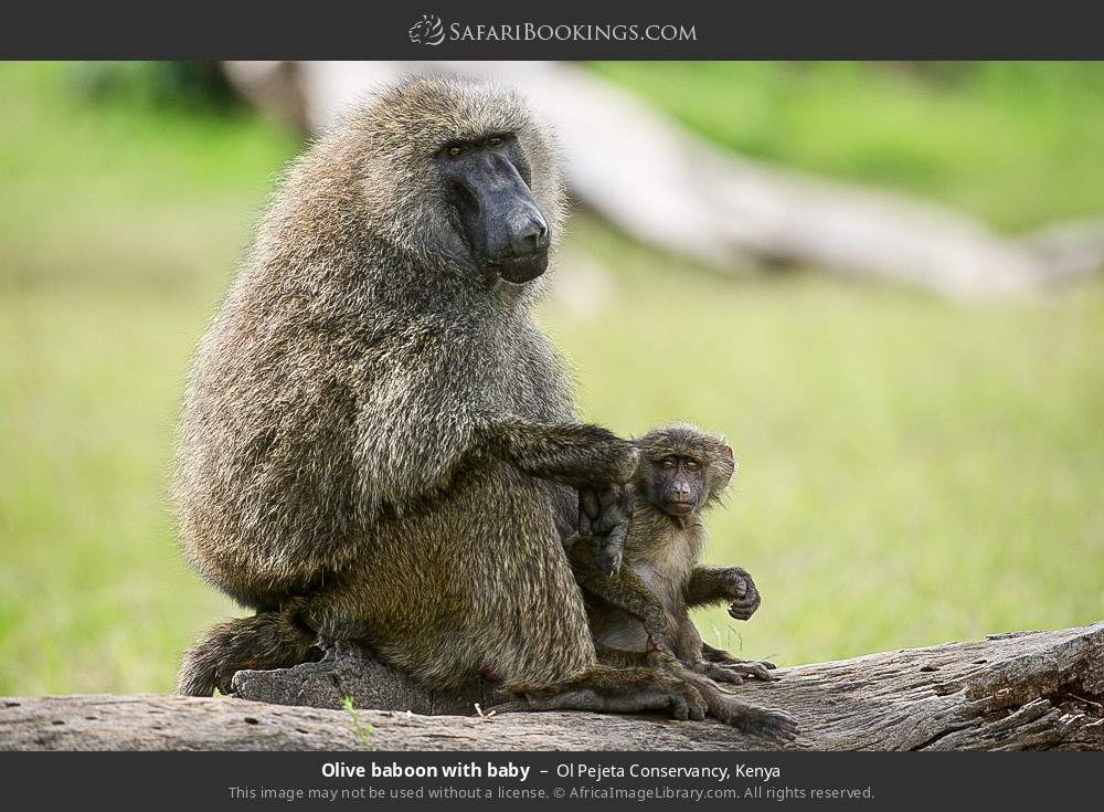 Olive baboon with baby in Ol Pejeta Conservancy, Kenya