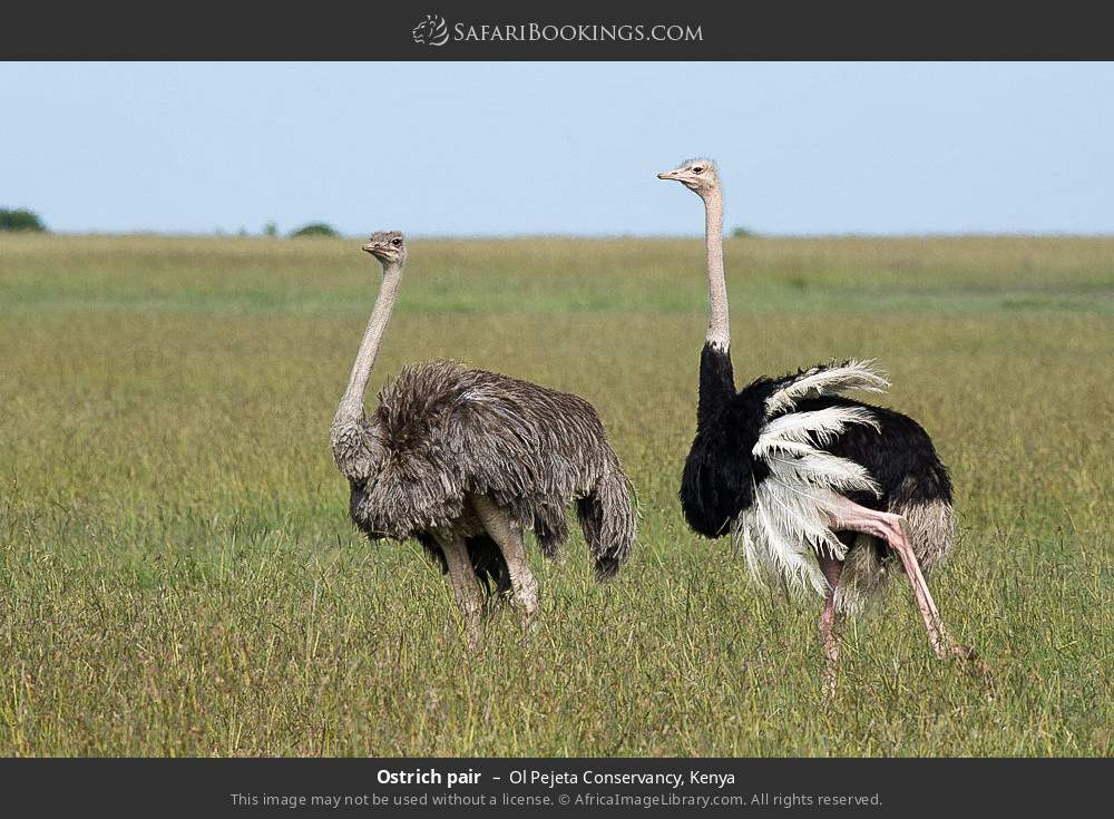 Ostrich pair in Ol Pejeta Conservancy, Kenya