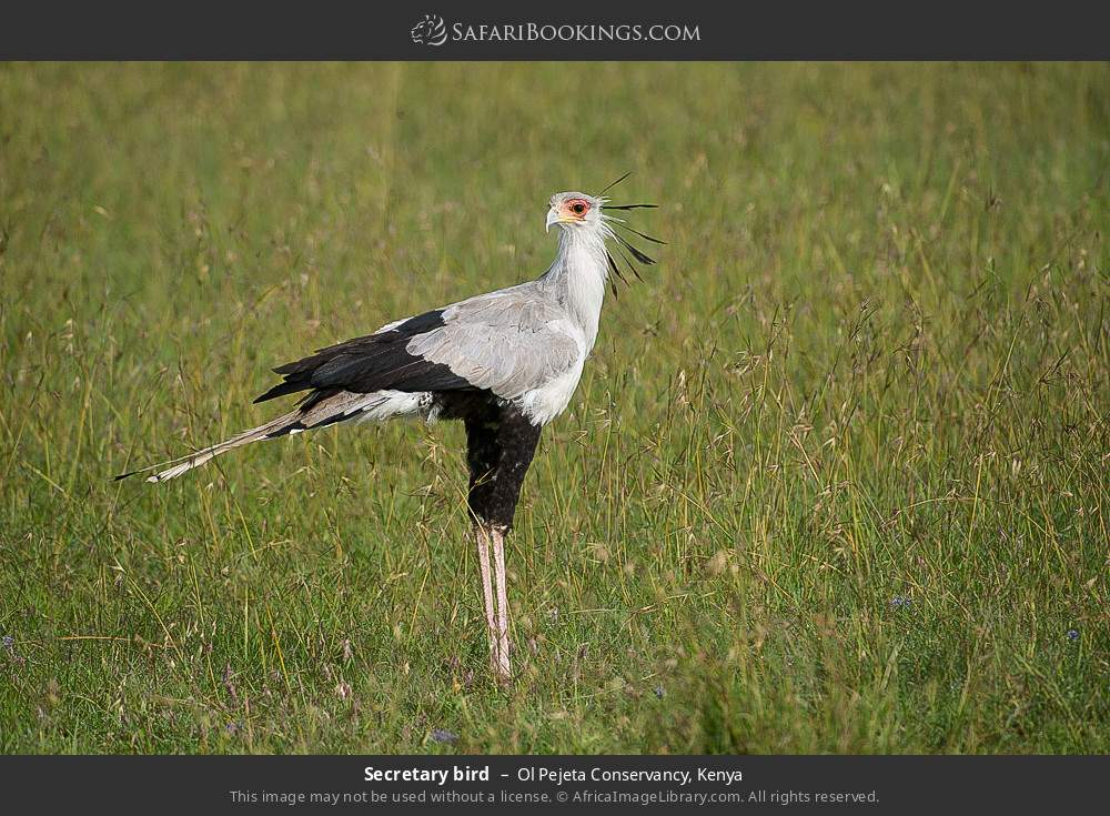 Secretary bird in Ol Pejeta Conservancy, Kenya