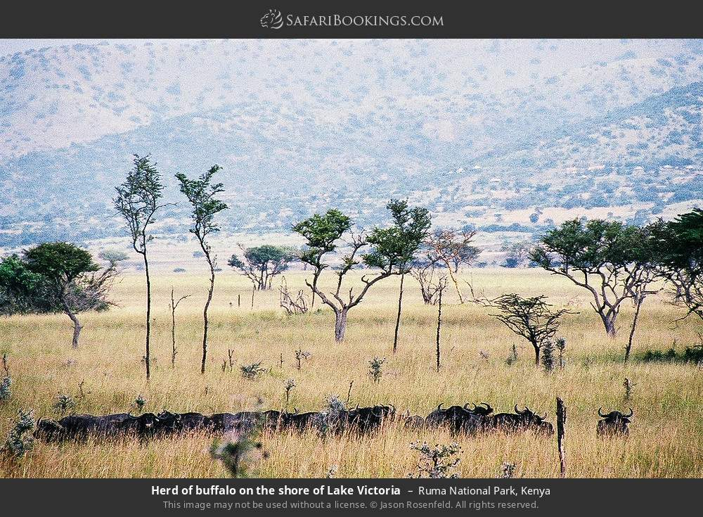 Herd of buffalo on the shore of Lake Victoria in Ruma National Park, Kenya