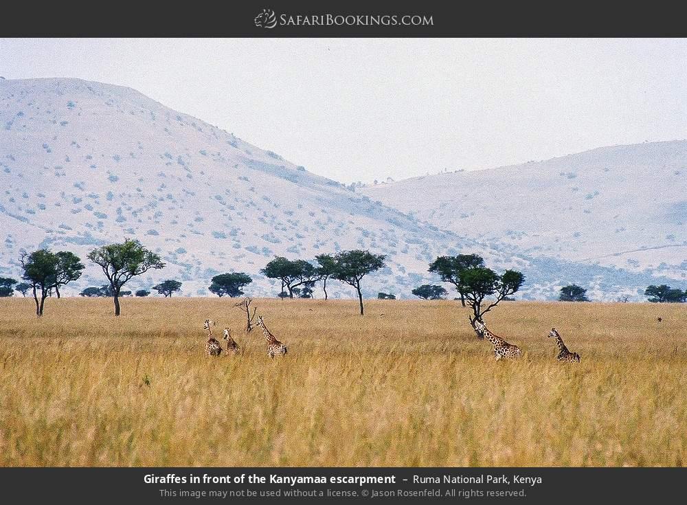 Giraffes in front of the Kanyamaa escarpment in Ruma National Park, Kenya