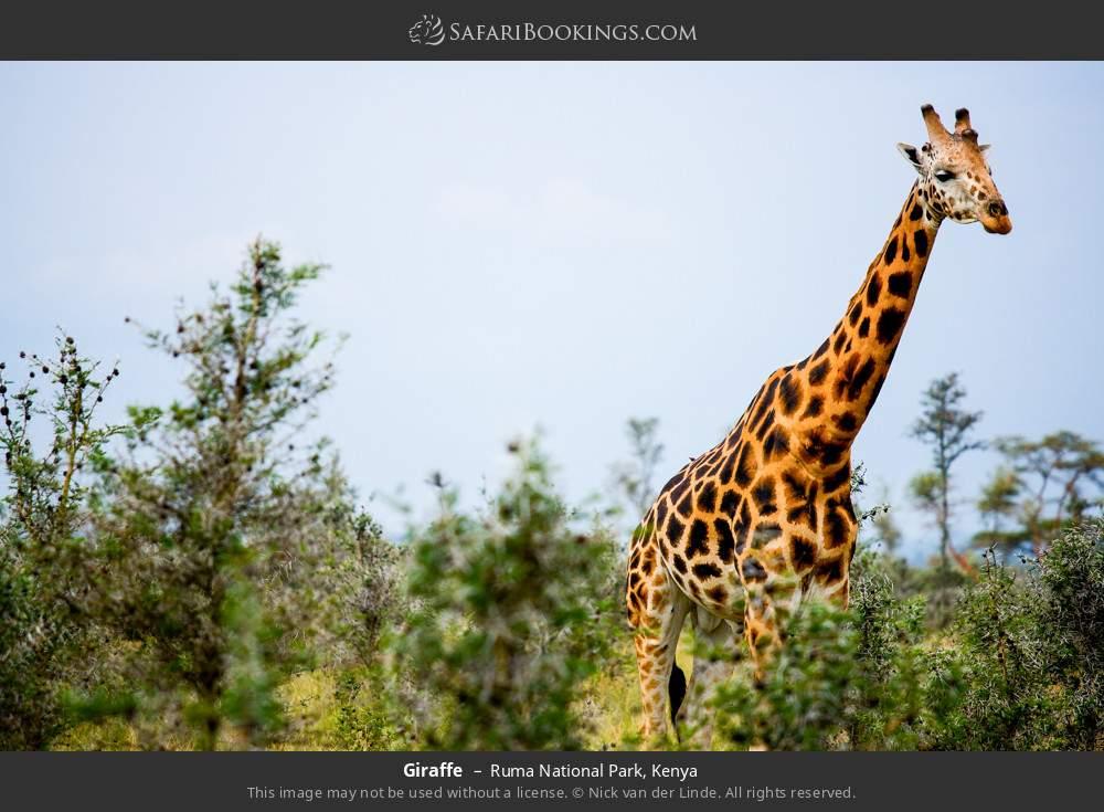 Giraffe in Ruma National Park, Kenya