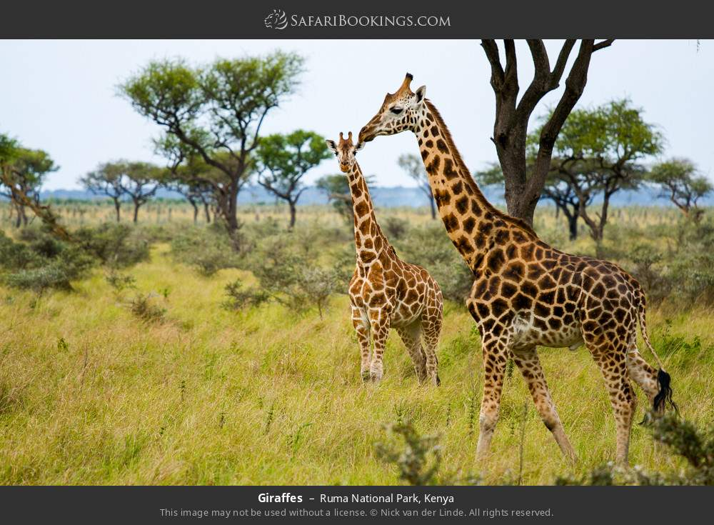 Giraffes in Ruma National Park, Kenya