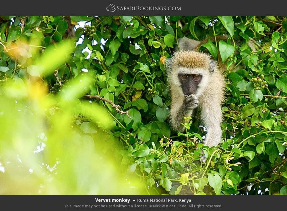 Vervet monkey in Ruma National Park, Kenya