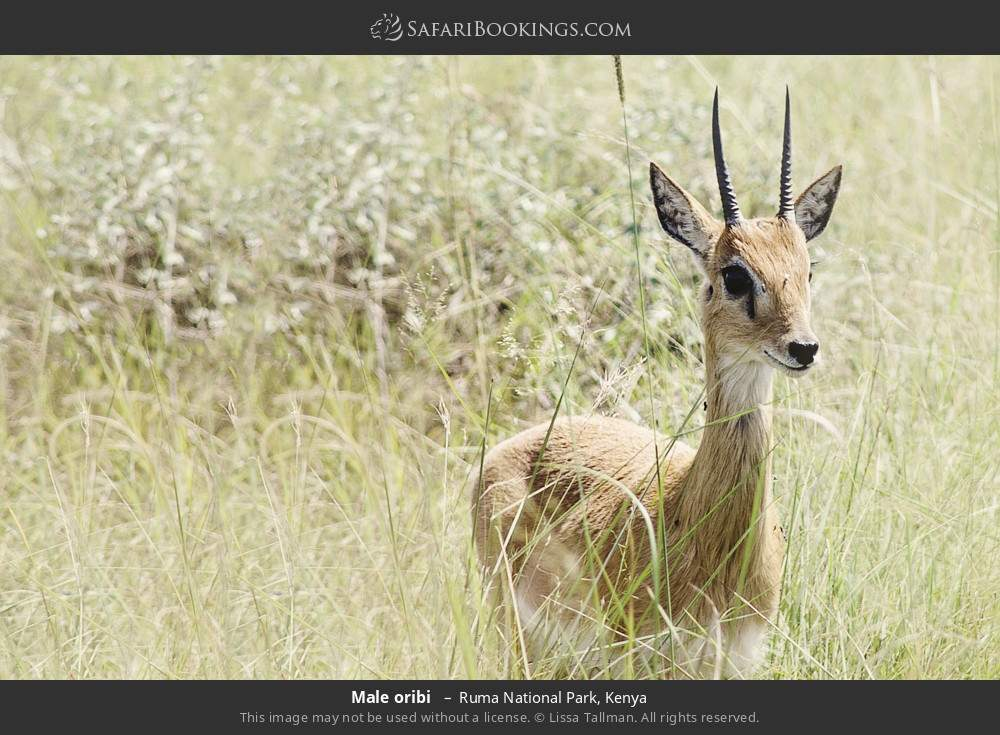 Male oribi  in Ruma National Park, Kenya