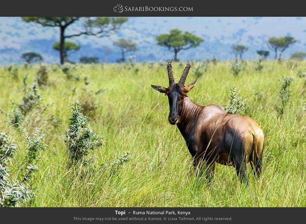 Topi in Ruma National Park, Kenya
