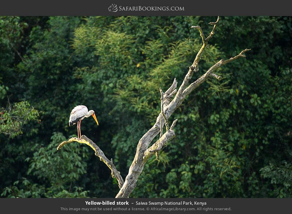 Yellow-billed stork in Saiwa Swamp National Park, Kenya