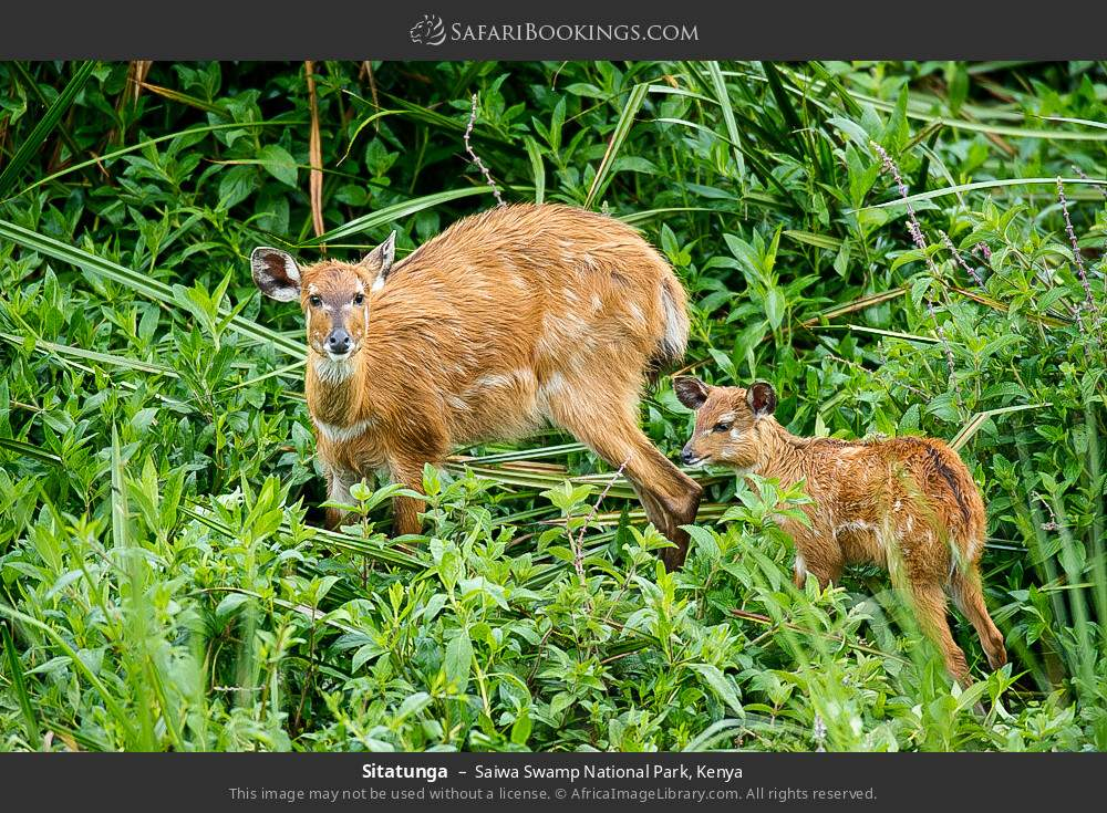 Sitatunga in Saiwa Swamp National Park, Kenya