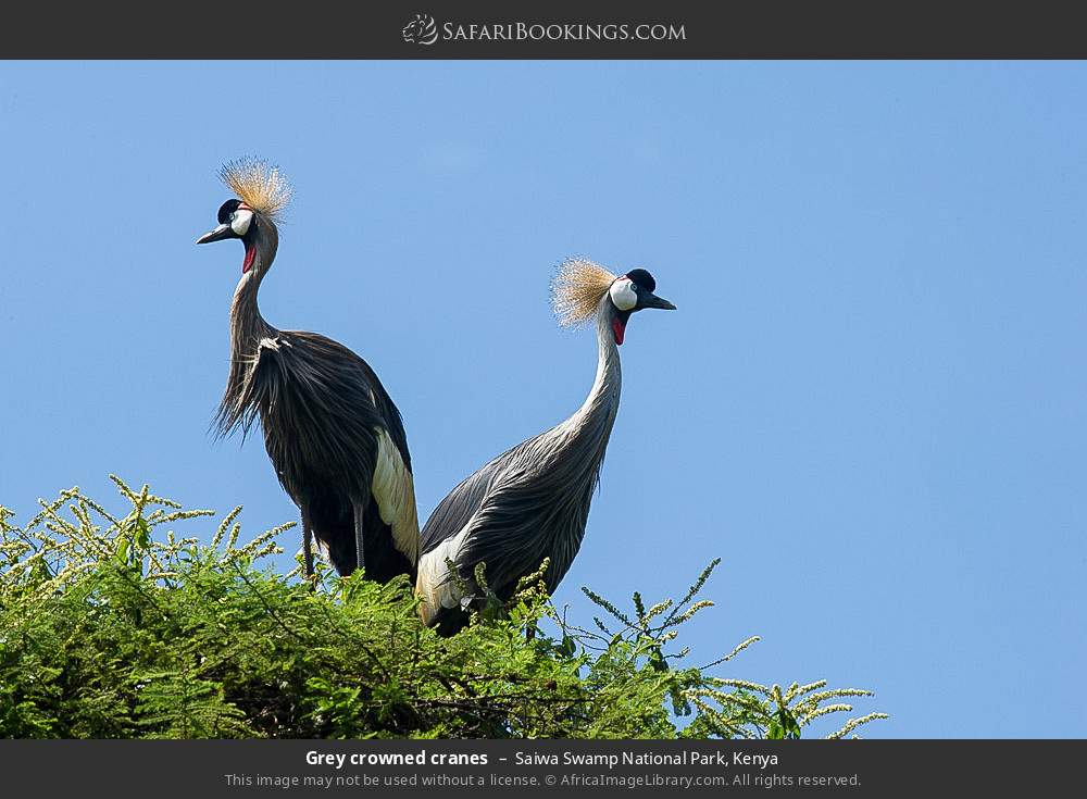 Grey crowned cranes in Saiwa Swamp National Park, Kenya