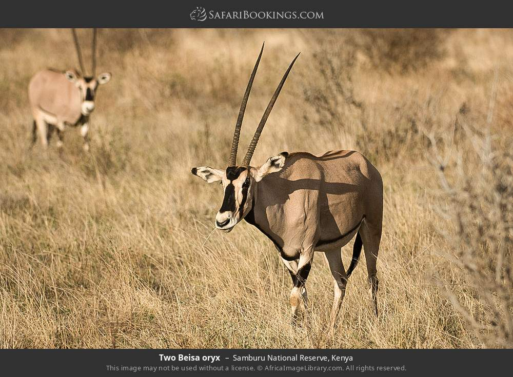 Two Beisa oryx in Samburu National Reserve, Kenya