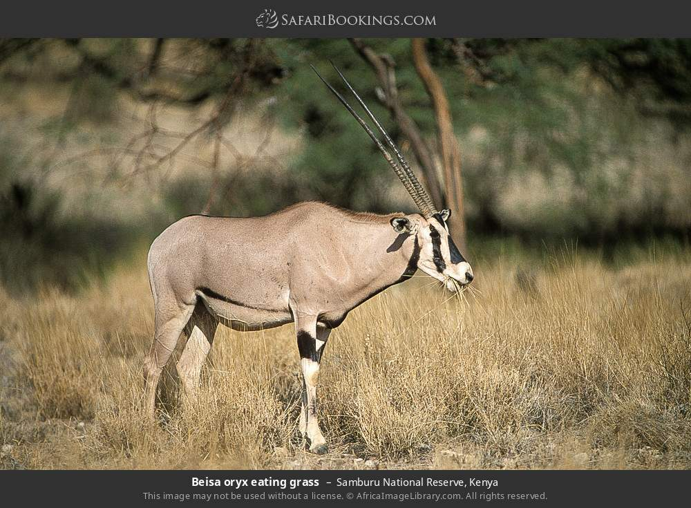 Beisa oryx eating grass in Samburu National Reserve, Kenya