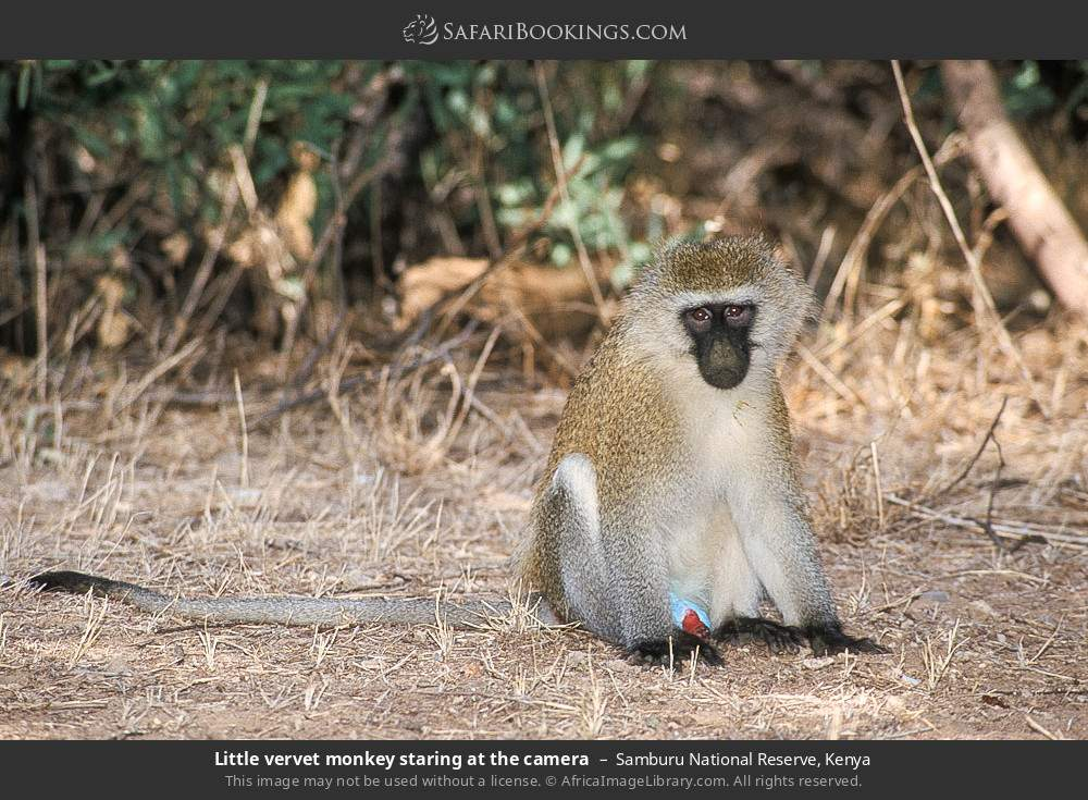 Little Vervet monkey staring at the camera in Samburu National Reserve, Kenya