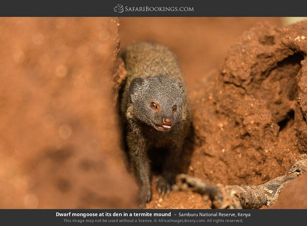 Dwarf mongoose at its den in a termite mound in Samburu National Reserve, Kenya