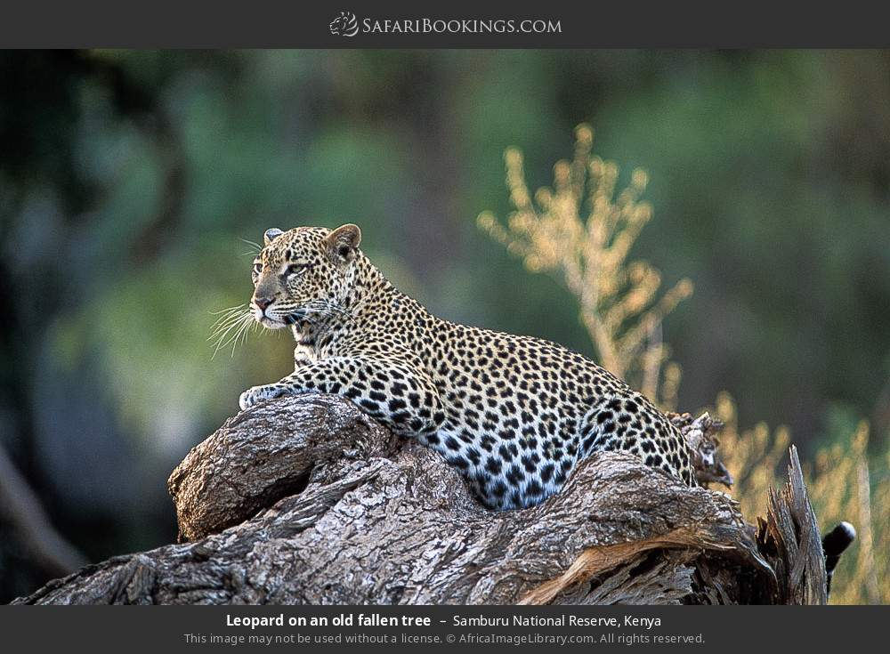 Leopard on an old fallen tree in Samburu National Reserve, Kenya