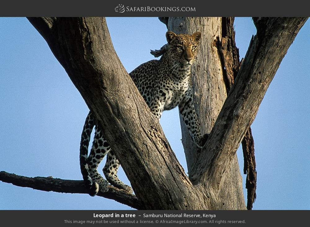 Leopard in a tree in Samburu National Reserve, Kenya
