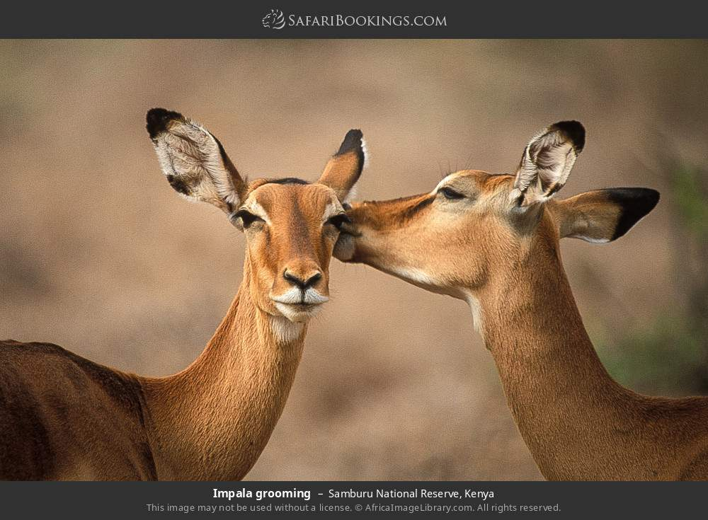 Impala grooming in Samburu National Reserve, Kenya