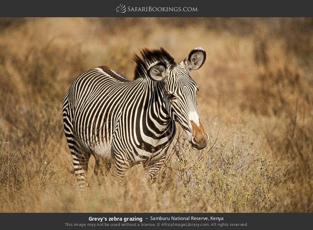 Grevy's zebra grazing in Samburu National Reserve, Kenya